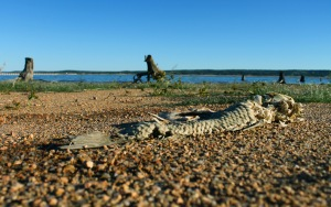 This carp is one of many fish skeletons left on the beach at Black Rock Park. Lake Buchanan and Buchanan Dam is visible in the background.