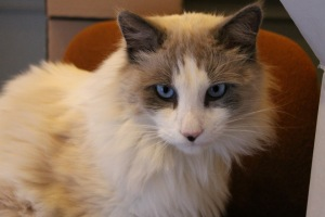 The vineyard cat, Cotton, is responsible for pest control on the winery grounds.  Cotton lounges around the tasting room.